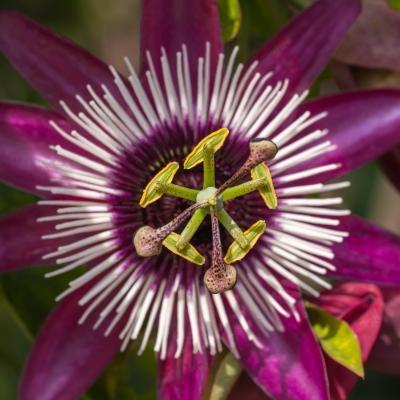 Particolare di passiflora