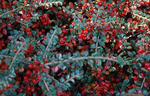 Cotoneaster per dimora in fioriera