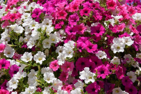 Surfinie fiorite