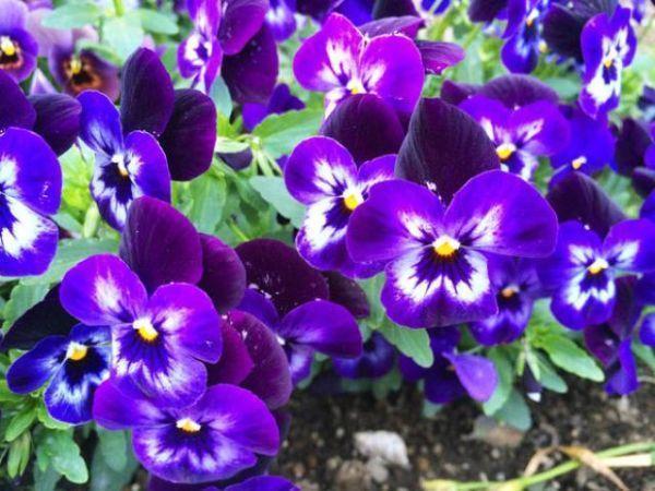 Scegliere i fiori in casa terrazzo e giardino for Viola cornuta inverno