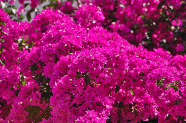 Scegliere i fiori in casa terrazzo e giardino for Bouganville fioritura