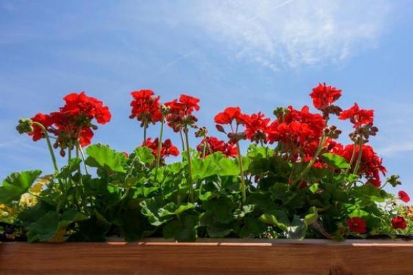 Gerani fioriti