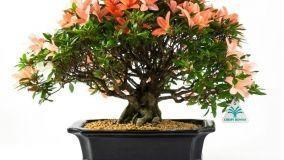 Come fare un bonsai in casa
