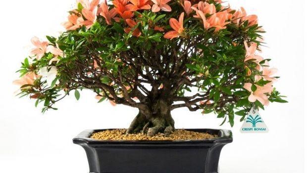 Come creare un bonsai, dal seme e dal ramo