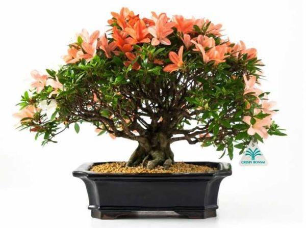 Azalea Bonsai di Crespi Bonsai