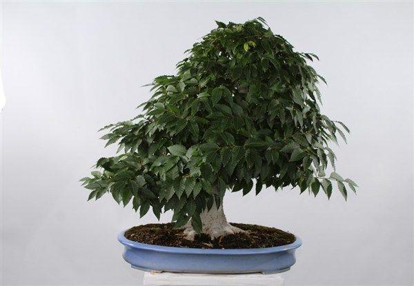 Come fare un bonsai in casa - Cura dei bonsai in casa ...