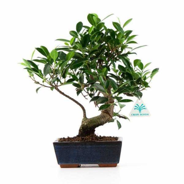 Ficus Retusa bonsai, foto Crespi Bonsai