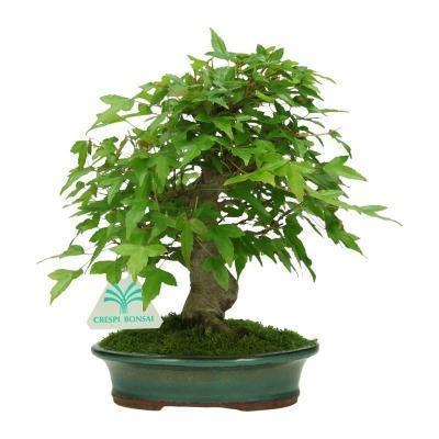 Acer-buergerianum