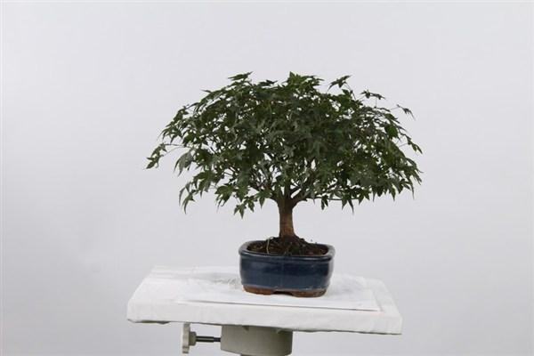 Acero Spazio Bonsai