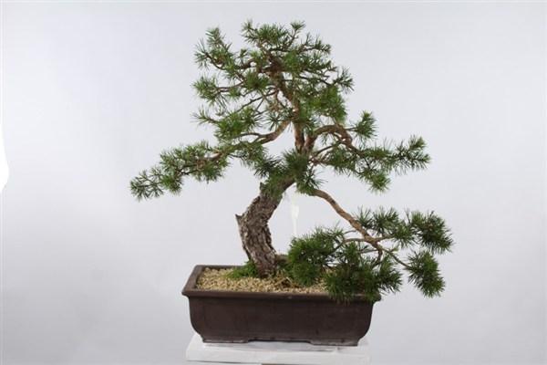Pino silvestre spazio bonsai