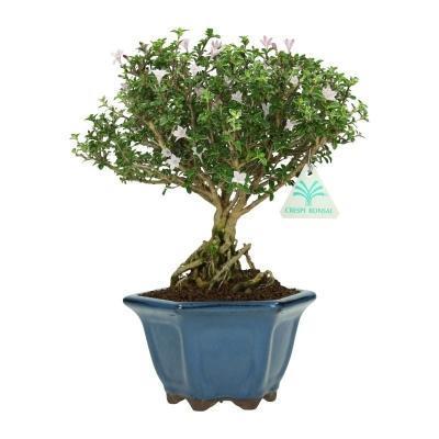 Serissa japonica variegata.jpg