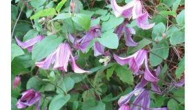 Piante rampicanti fiorite e sempreverdi