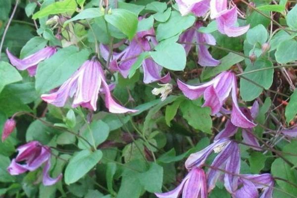 Piante rampicanti fiorite e sempreverdi for Piante rampicanti ornamentali