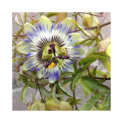 Passiflora Caerulea di Un Quadrato di Giardino