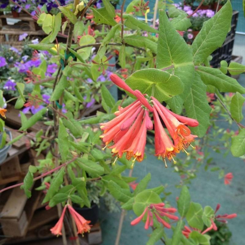 Foto piante rampicanti fiorite e sempreverdi for Piante rampicanti