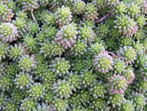 Giardino verticale con Sedum, pianta grassa. Immagine di Greenhabitat
