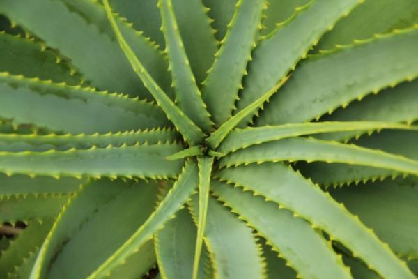Aloe, pianta contro inquinamento domestico