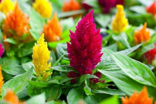 I colori dei fiori d'autunno: la Celosia