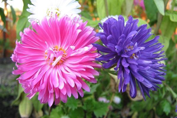 Tipica pianta autunnale: Settembrini rosa e lilla