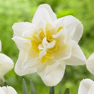 I fiori d'autunno: il Narciso bianco