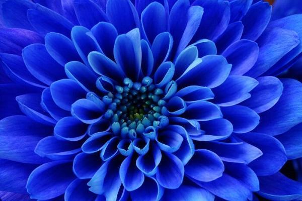 Settembrino blu, varietà di fiore autunnale