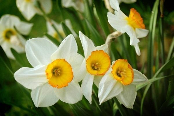 Fiore autunnale: Narciso bianco