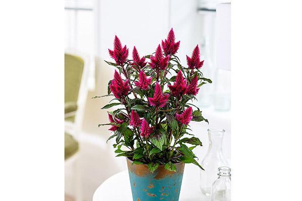 Celosia pianta d'autunno di Bakker