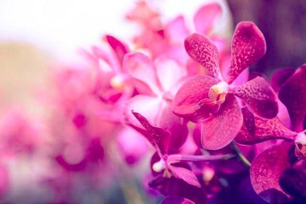 Orchidea coltivata in serra