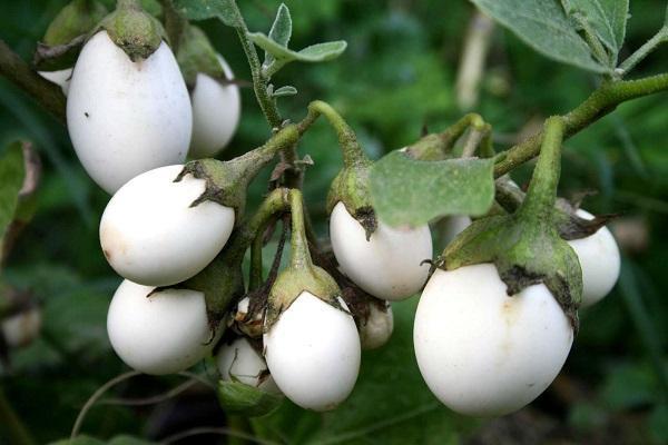 Piante rare Solanum Ovigerum