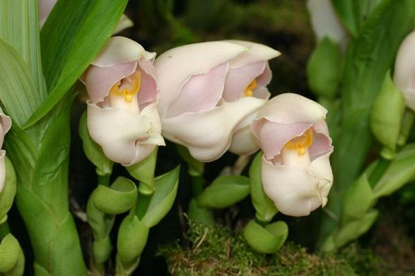 Boccioli di Anguloa Uniflora