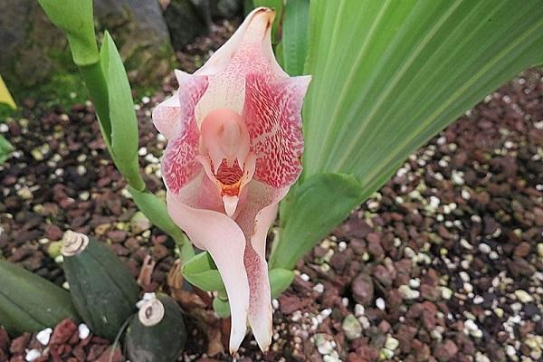 Bocciolo aperto di Anguloa Uniflora