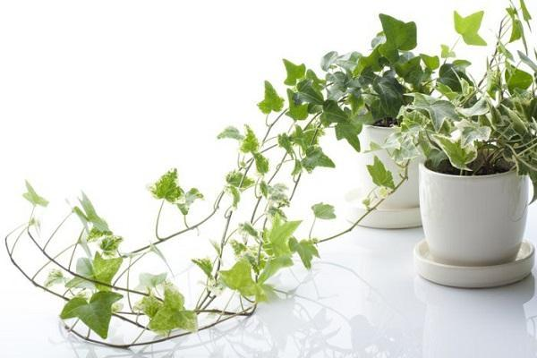 Pianta di Edera in vaso di ceramica