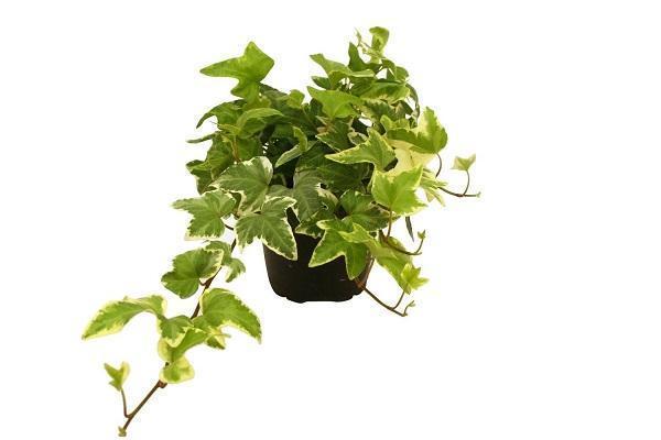 Edera consigli pratici per una pianta rigogliosa for Edera finta ikea