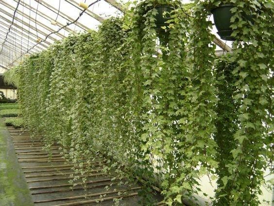 Foto edera consigli pratici per una pianta rigogliosa for Siepe artificiale ikea