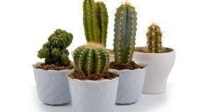 Cura delle piante grasse in casa
