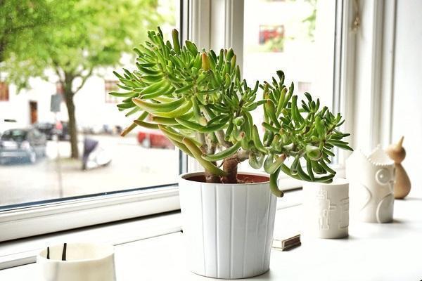 Cura delle piante grasse in casa for Piante grasse ornamentali
