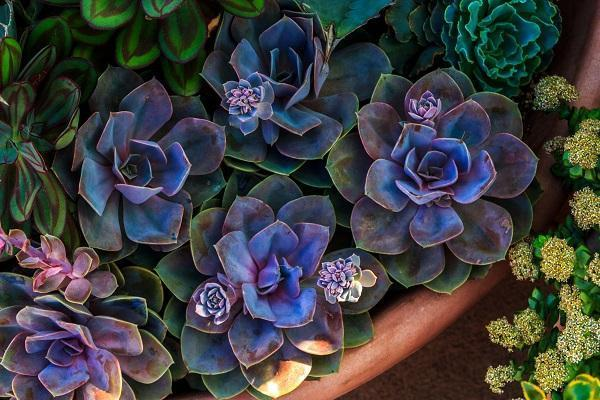 Pianta grassa Echeveria Color