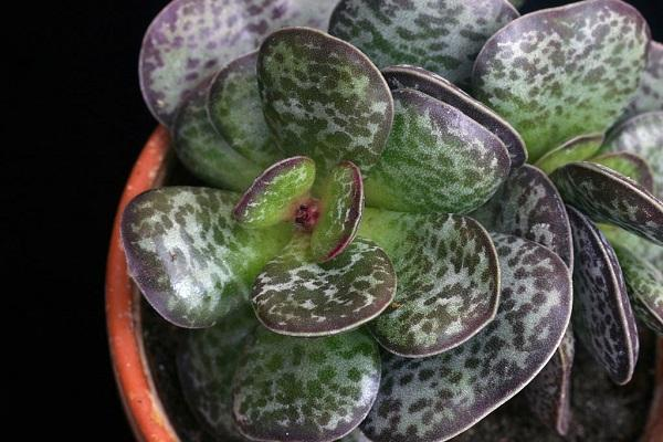 Pianta grassa Adromischus Maculatus da Pinterest