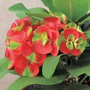 Pianta grassa da appartamento Euphorbia Milli