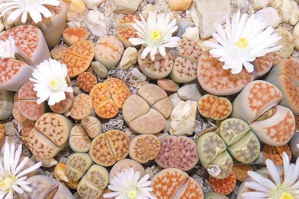 Piante grasse Lithops in mix