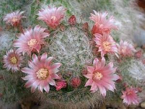Piana grassa fiorita del genere Mammillaria