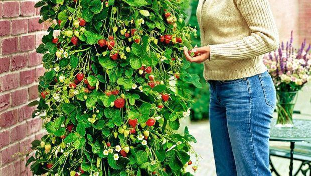 Coltivare le fragole consigli pratici for Fragole piante in vaso