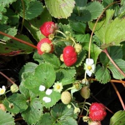 Fragole Hybrida Selva di Venditapianteonline