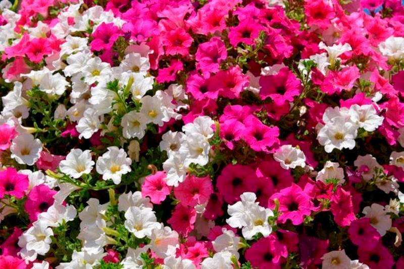 Balcone fiorito: le bouganville