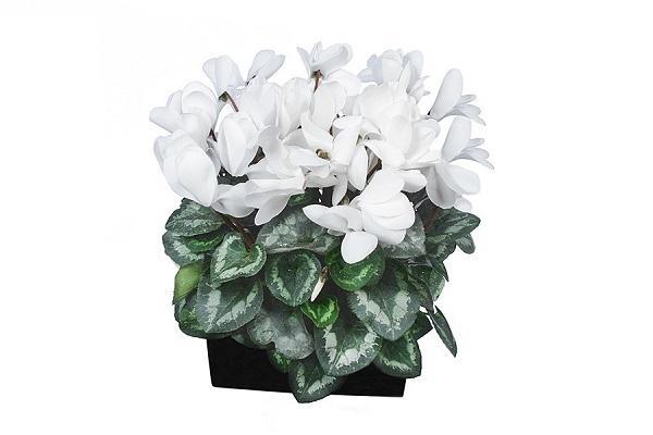Ciclamino bianco in vaso