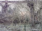 Altissimi cespugli di rovi in un edificio rurale abbandonato