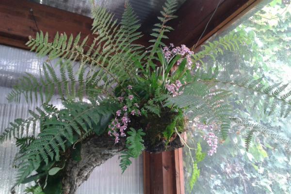 Kokedama con felci e muschio di Japan Bonsai