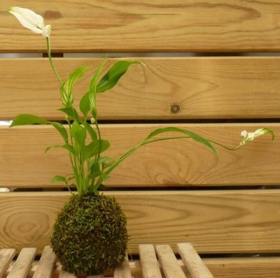 Kokedama muschio con piantina di spatiphyllum di Japan Bonsai