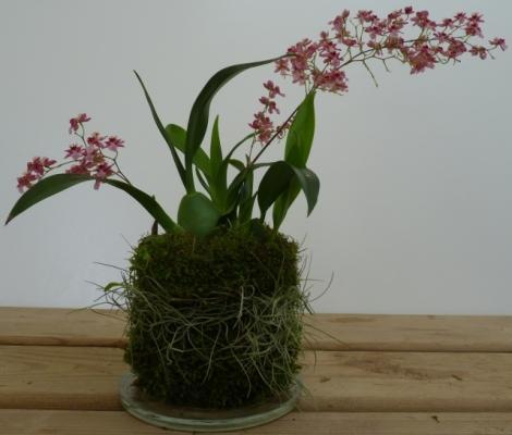 Perla di muschio con piantina di orchidea di Japan Bonsai