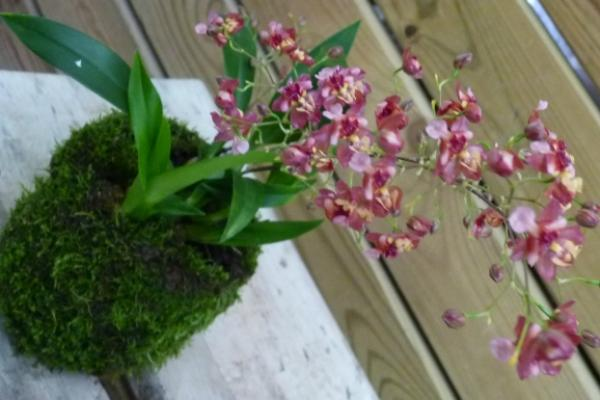 Kokedama muschio con piantina di orchidea di Japan Bonsai
